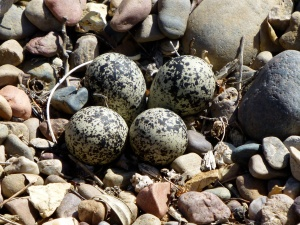 Killdeer eggs  Photo courtesy Mike Williams